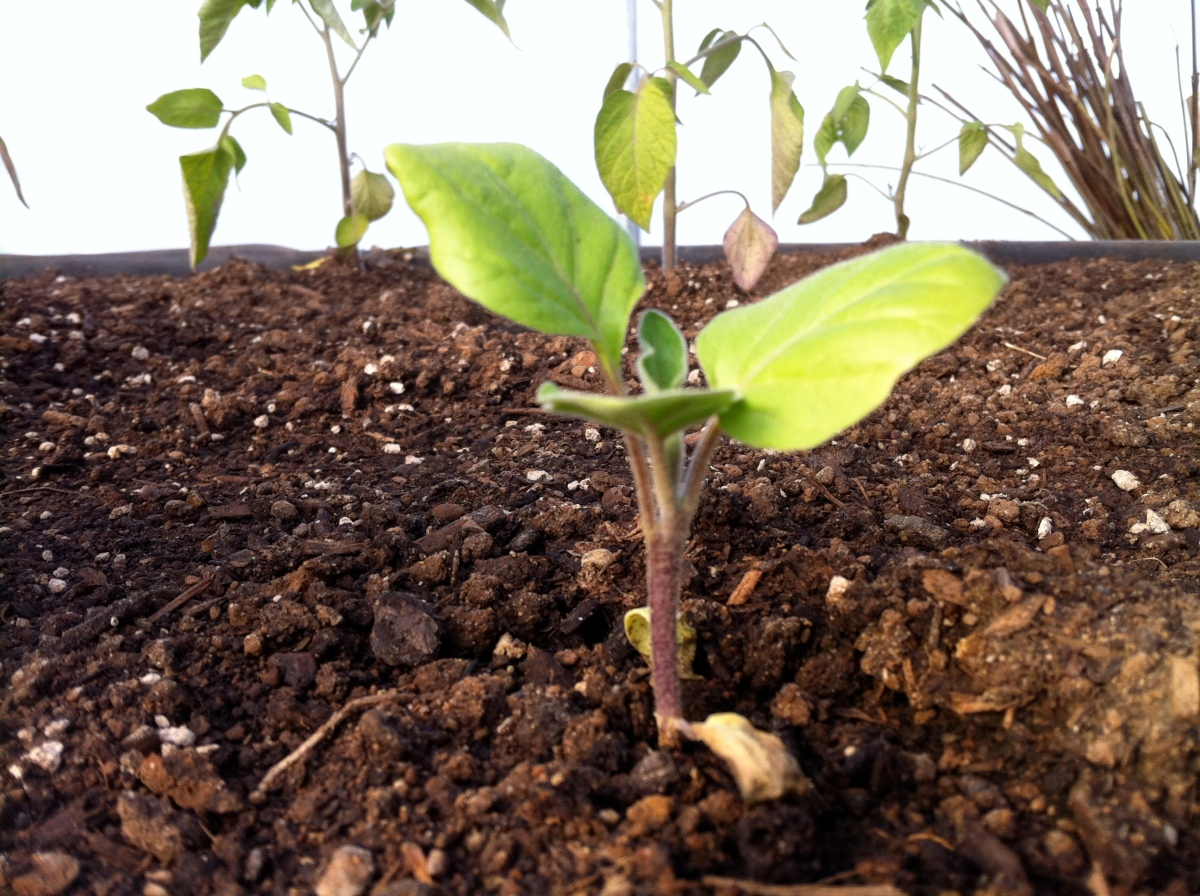 Eggplants transplanted into their grow beds