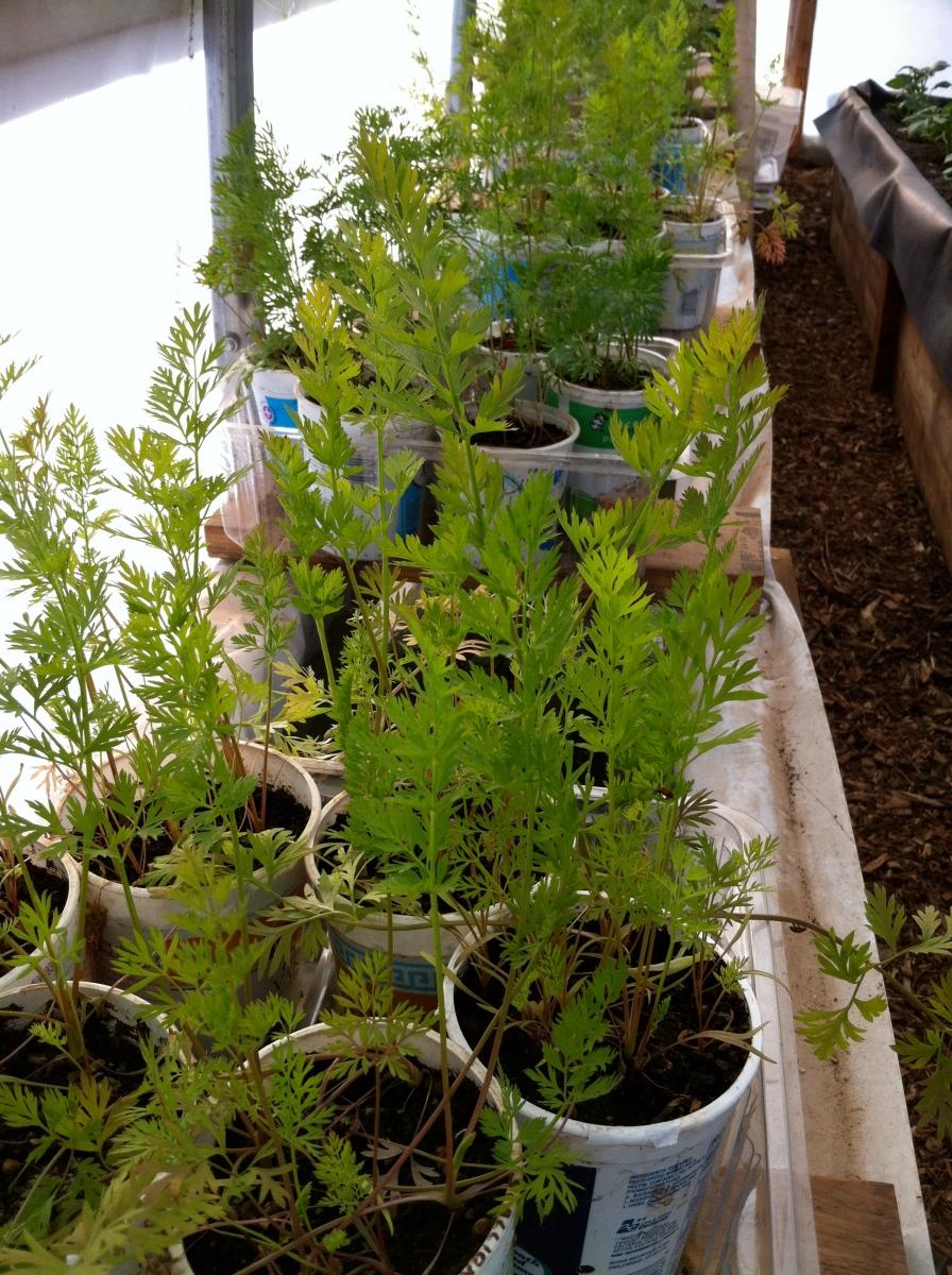 Experimental carrots in pots